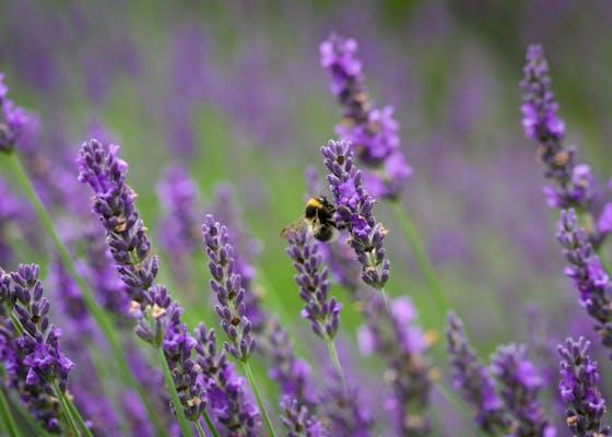 Bee amongst lavender