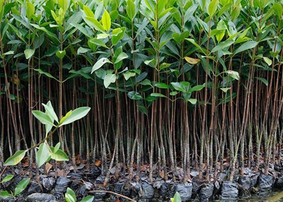 Baby mangroves in Ecuador