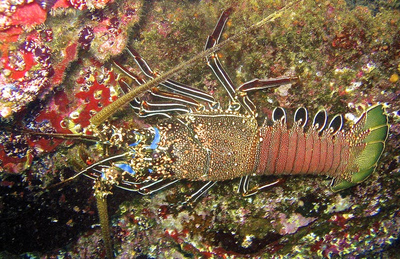 Spiny lobster in the Galápagos Islands