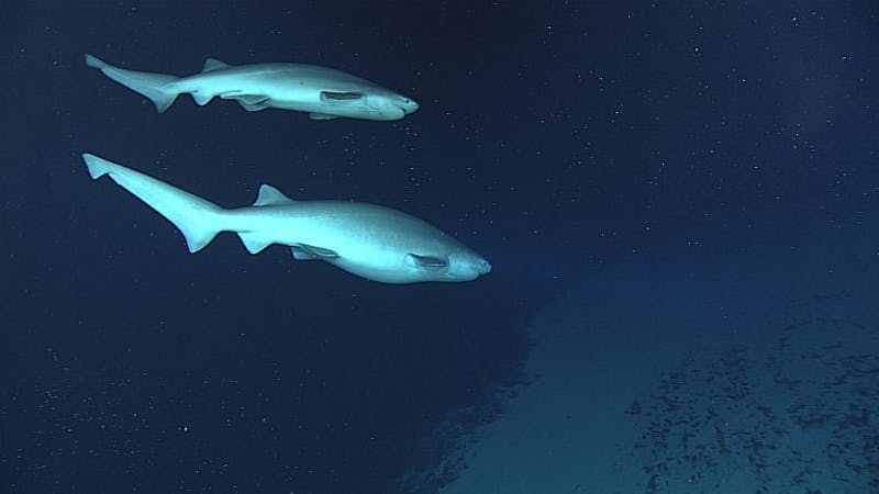 A pair of male and female sixgill sharks