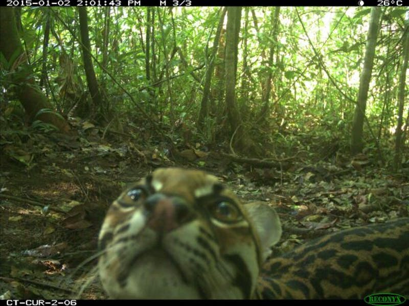 Ocelot caught on camera in Curare, Colombia