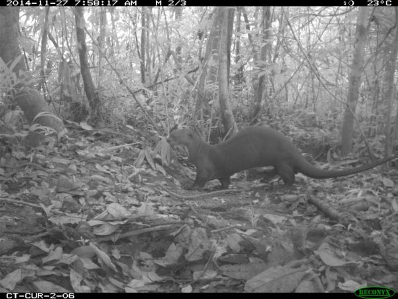 Giant otter filmed by camera trap in Curare, Colombia