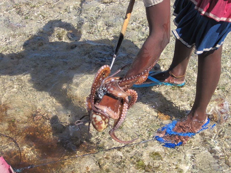 Octopus are caught by putting a spear into the animal's den, twisting the spear slowly around until the octopus' tentacles wrap together, and carefully extracting the whole bundle.