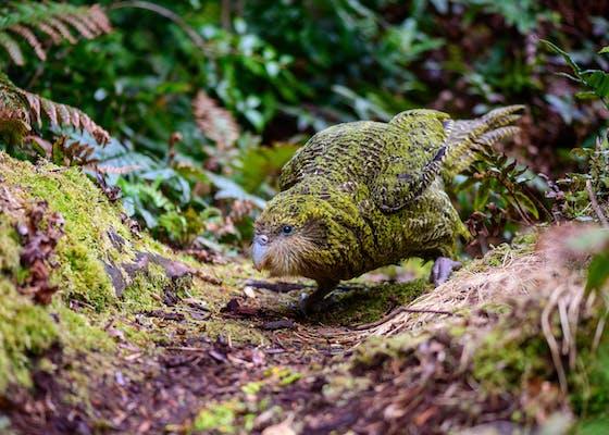 A kakapo on Anchor Island in New Zealand