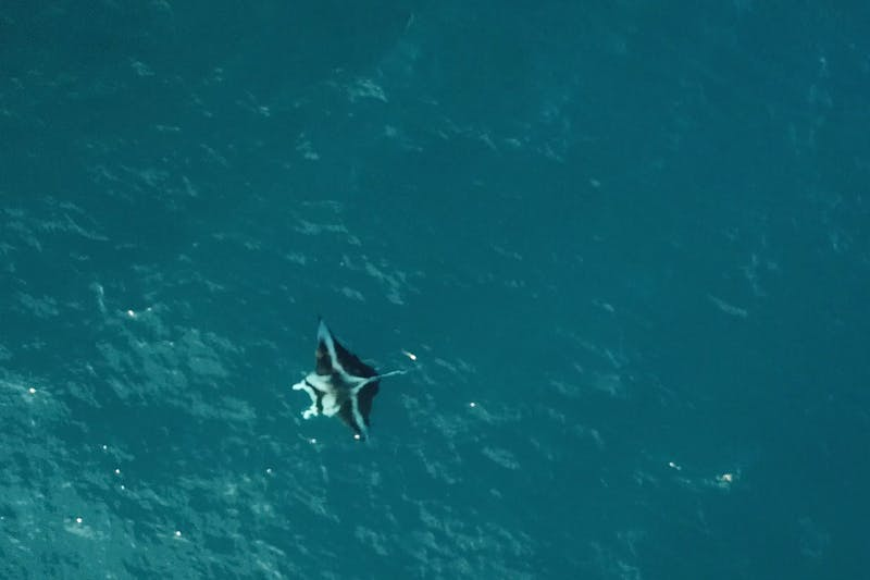 Captured via drone: A reef manta cruises along the surface.