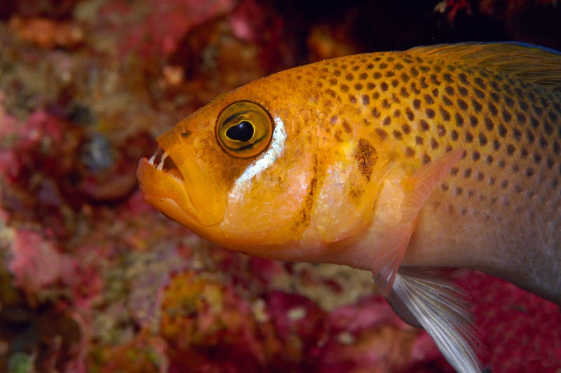 Pseudochromis erdmanni
