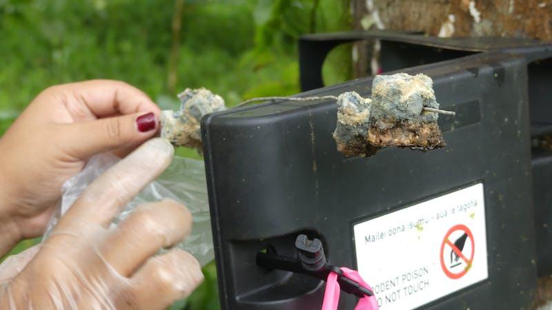 A volunteer baits a rat trap in Samoa.