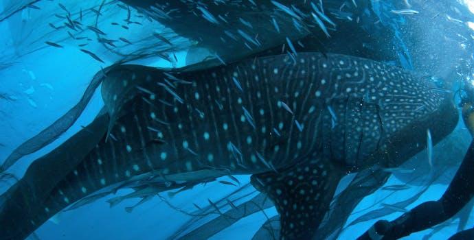 "Whale shark #144881 ""Mitch"""