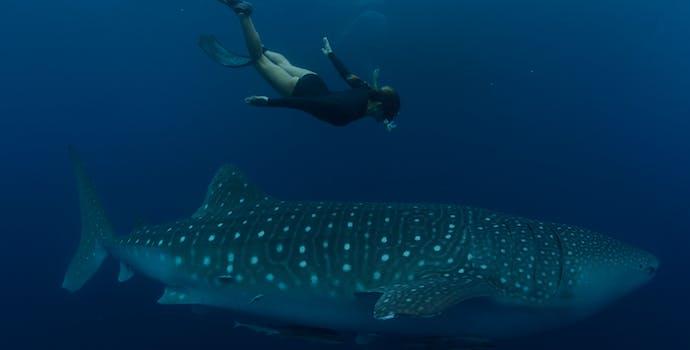 "Whale shark #144886 ""Satria & Jude"""