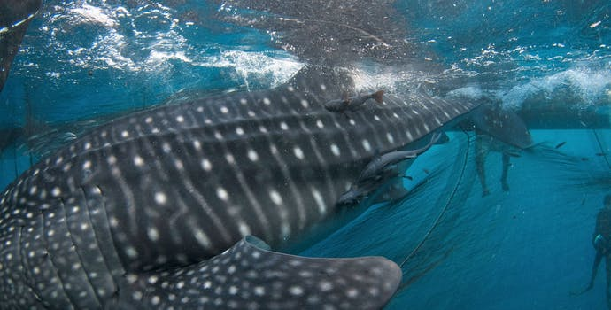 """Whale shark #151097 """"Fijubeca"""""""