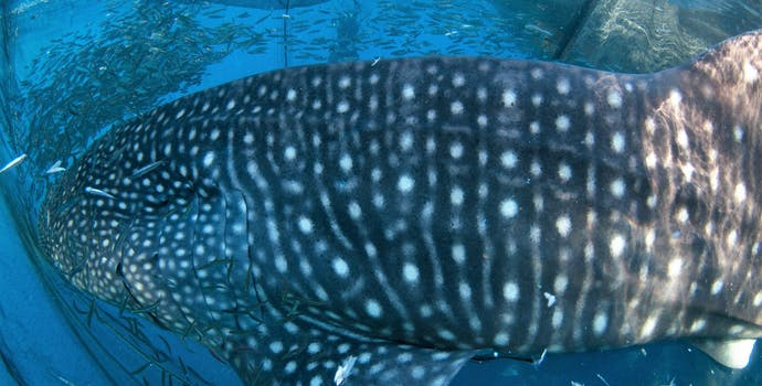 "Whale shark #153665 ""Moby"""