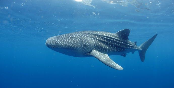"Whale shark #153666 ""Yalgal"""