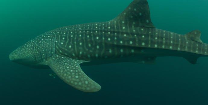 "Whale shark #158582 ""Pongo"""