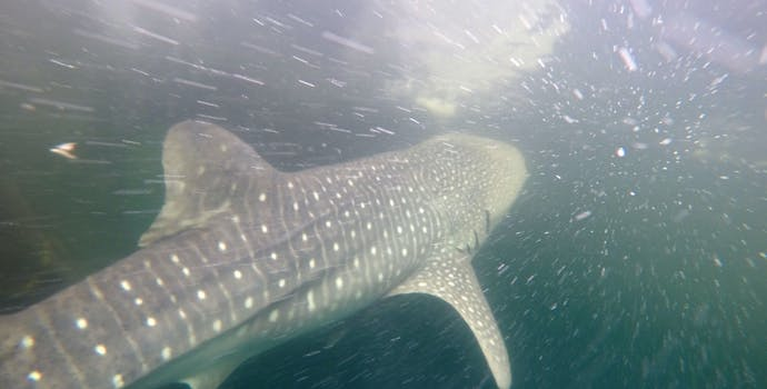 "Whale shark #158584 ""Merlin"""