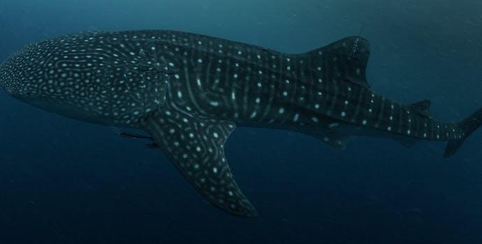 "Whale shark #158694 ""Ellula"""
